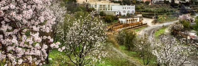 Majorca becomes flourishing garden with the almond blossom